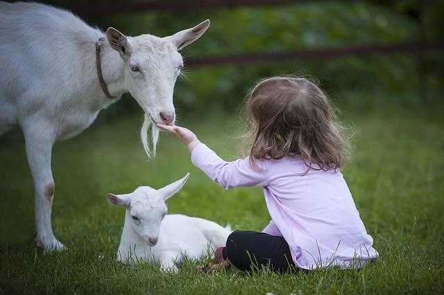 krmení kozy